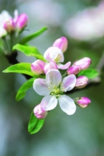 Peony Press Apple Blossom
