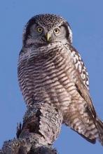 Hawk Owl Blank Journal