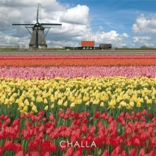 B-J Challa , I love tulips