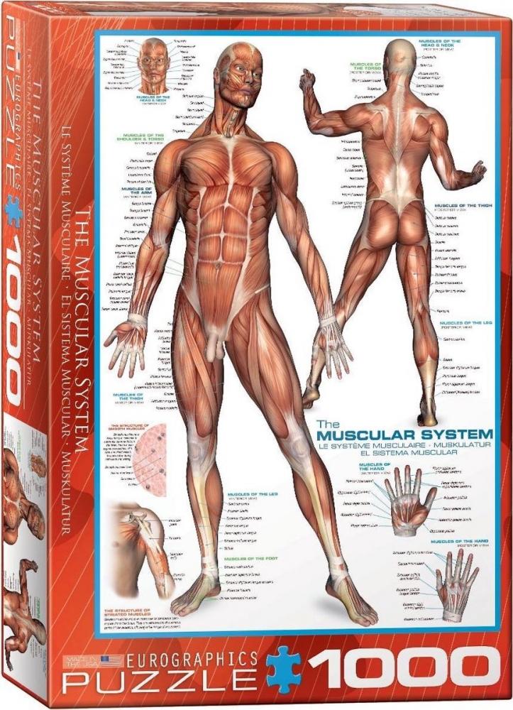 ,Puzzel the muscular system eurographics 1000 stuks