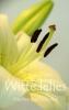 <b>Maarten van Leeuwen</b>,Witte lelies